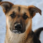 shepherd-cross-young-dog-pending-adoption_5312678